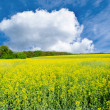 Stock Photo: Field of yellow rapeseed