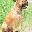 Stock Photo: Young Bullmastiff dog
