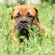 Bullmastiff dog lying — Stock Photo