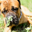 Stock Photo: Bullmastiff dog lying