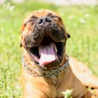 Stock Photo: Bullmastiff dog yawns