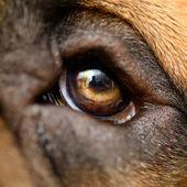 Macro dog eyes — Stock Photo