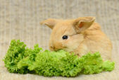 Newborn brown rabbit — Stock Photo