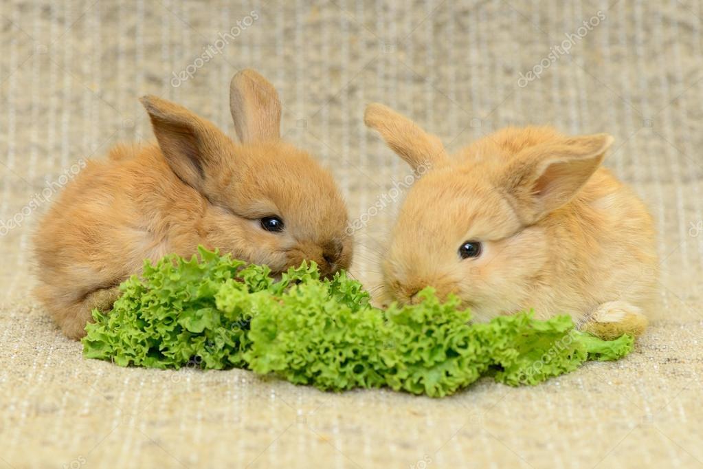 rwo 新生儿棕色的小兔子的长耳朵.吃生菜.