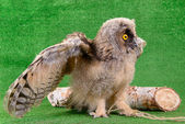 Young bird owl — Stock Photo
