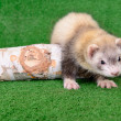 Stock Photo: Young rodent ferret