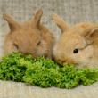 Newborn brown rabbits — Stock Photo