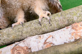 Paws and claws — Stock Photo