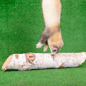 Young rodent ferret — Stock Photo