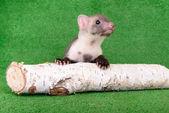 Small animal marten — Stock Photo