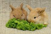 Newborn brown rabbits — Stock Photo