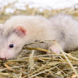 Stock Photo: Small rodent ferret