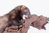Small rodent ferret — Foto de Stock