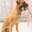 Junior bullmastiff dog — Stock Photo