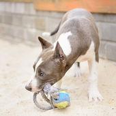 Gray puppy Stafford — Stock Photo