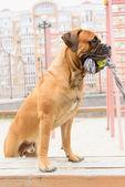 Junior bullmastiff dog — Stock Photo