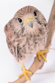 Young chick hawk — Stock Photo