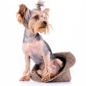 Yorkshire terrier sit — Stockfoto