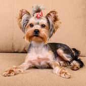 Yorkshire terrier lies — Foto de Stock