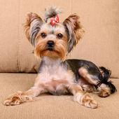 Yorkshire terrier lies — Foto Stock
