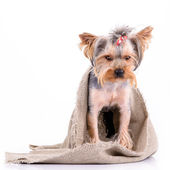 Jorkšírský teriér pes — Stock fotografie