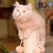 Fluffy Persian kitten — Stock Photo