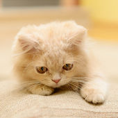 Fluffy Persian kitten — Foto de Stock