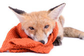 Fox with scarf — Stock Photo