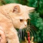 Small Persian kitten — Stock Photo