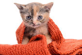 Small Scottish kitten — Stock Photo