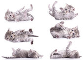 Six tabby Scottish kittens — Stock Photo