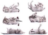 Six tabby Scottish kittens — Stock Photo