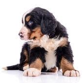 Puppy Bernese Mountain Dog — Stock Photo