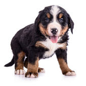 Puppy Bernese Mountain Dog — Stock Photo