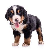 Bovaro bernese di cucciolo — Foto Stock