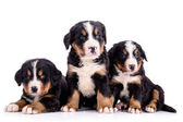 Puppies Bernese Mountain Dog — Stock Photo