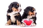 Puppies Bernese Mountain Dog — Foto de Stock