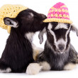Foto Stock: Farm animal goats isolated