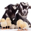 Goats and chickens — Stock Photo
