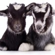 Farm animal goat isolated — Stock Photo #41284155
