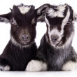 Foto Stock: Farm animal goat isolated