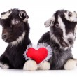 Stock Photo: Goats with heart