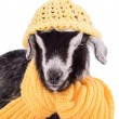 Farm animal goat isolated — Foto de stock #41284311