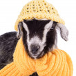 Foto de Stock  : Farm animal goat isolated