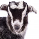 Farm animal goat isolated — Stock Photo #41284317