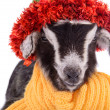 Stock Photo: Farm animal goat isolated