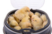Newborn chickens isolated — Stock Photo