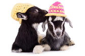 Farm animal goats isolated — Stock Photo