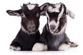 Farm animal goat isolated — Stock Photo