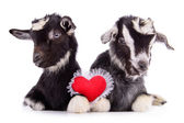 Goats with heart — Stock Photo
